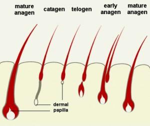 Sinh lý tóc 1