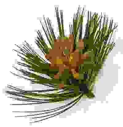 Giảm gàu, ngăn tóc rụng với lá thông 1