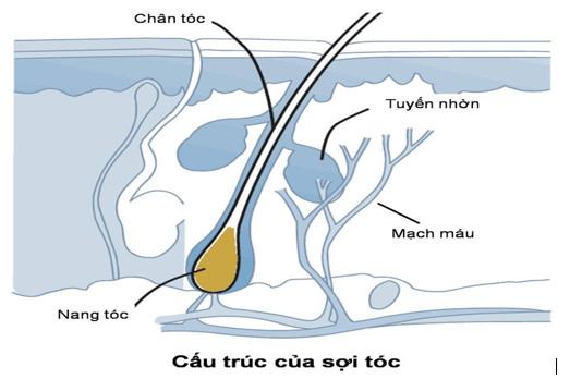 Nang tóc – yếu tố quan trọng giúp tóc mọc dài ra 1