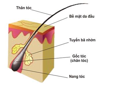 Cấu tạo của sợi tóc 1