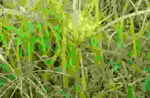 cỏ mần trầu chữa rụng tóc 1